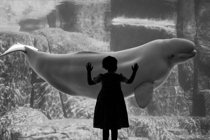 A young girl looks at a beluga whale in an aquarium