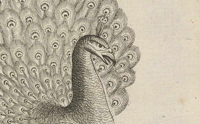 A closeup of a peacock drawn in black and white.