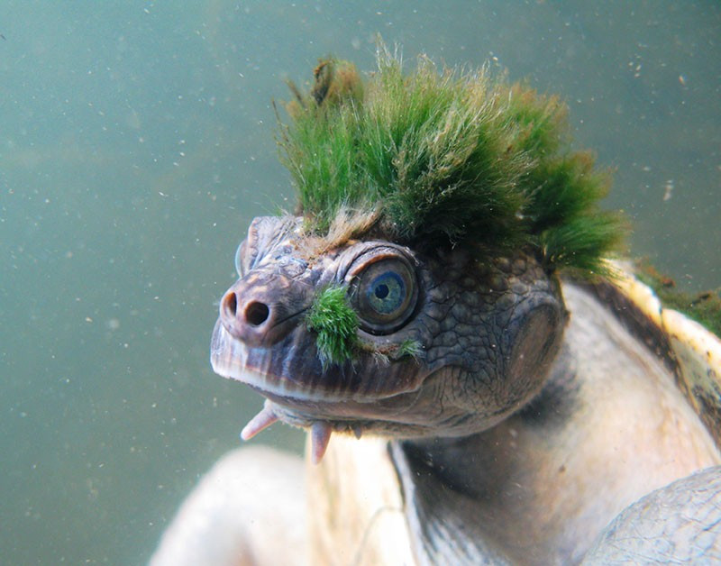 Mary river turtle - Elusor macrurus – from ZSL's EDGE Reptiles list.