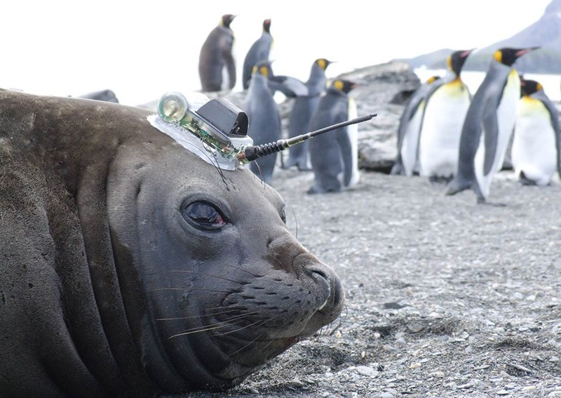 A seal with a sensor on its head looks at the camera whilst on a beach in Amundsen in Antarctica with penguins in the background