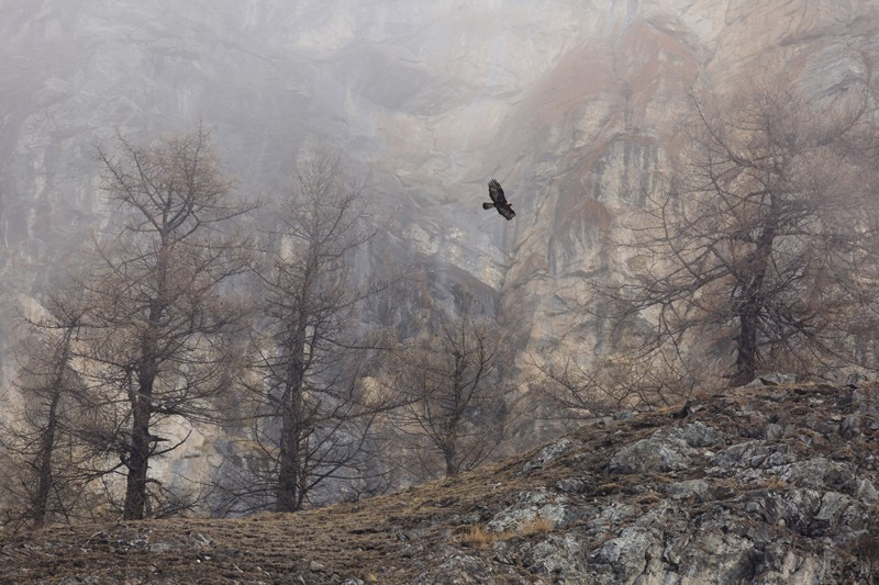 A golden eagle searching for food which was revealed by the recent snow melt. Italian Alps.