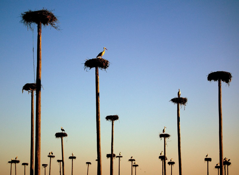 Nests of white storks on artificial pillars.