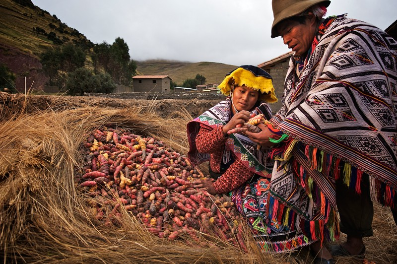 A nest of hay preserves harvested potatoes and tubers in Pampallacta, Peru.