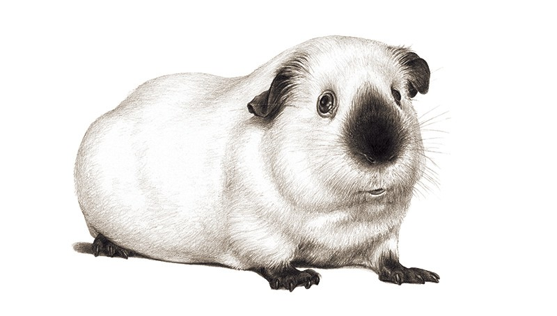 A black and white sketched illustration of a white guinea pig with a darker nose, ears and limbs.
