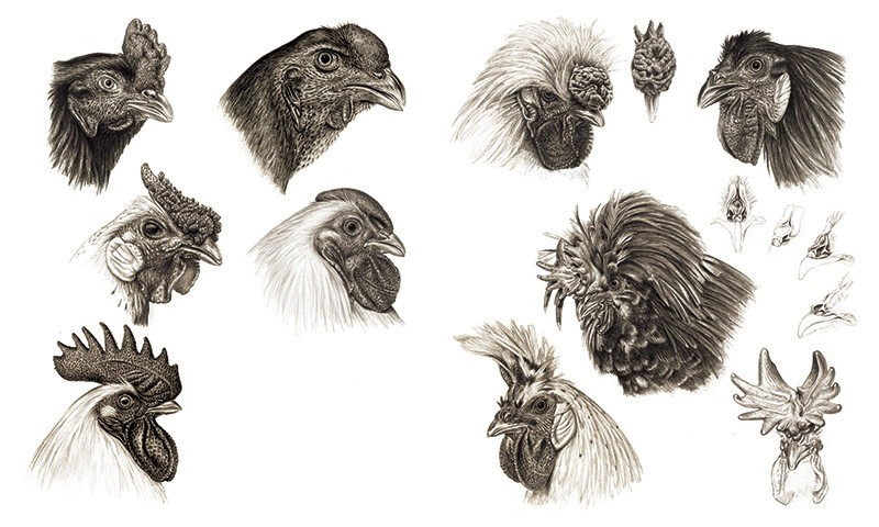 A black and white sketched illustration of the heads of different chicken heads with a wide variety of combs.