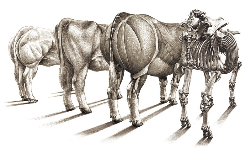 A black and white sketched illustration of four double muscled bulls from behind - one with skeleton, one with muscles, visible.