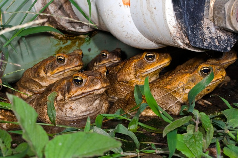 Group of cane toads under a water pipe, Australia