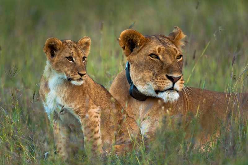 Lioness with GPS radio collar and cub