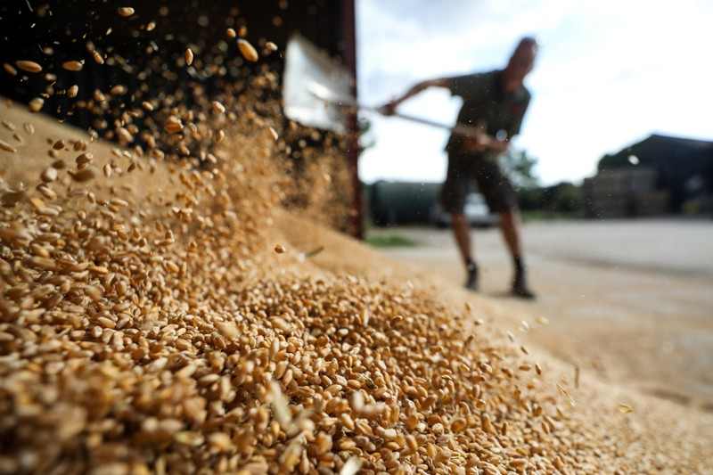 A farmer shovels wheat grain