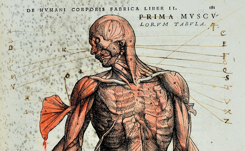 Muscle man hand coloured in red, with handwritten characters to help with identification and differentiation