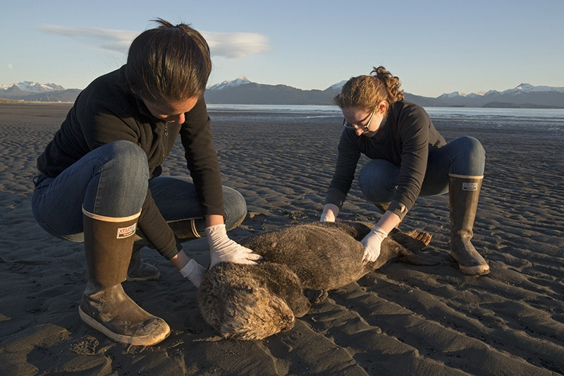 Two individuals check a dead otter lying the beach in Alaska.