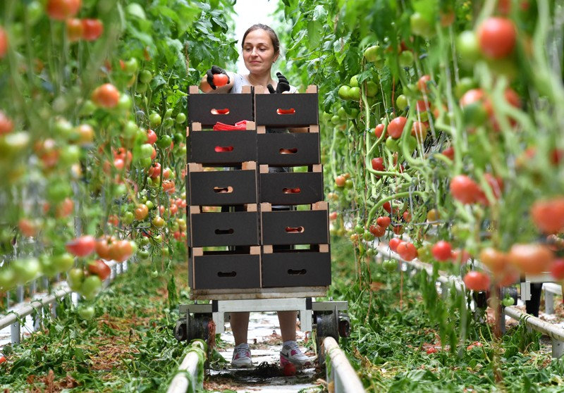 Worker harvesting tomatoes in a greenhouse