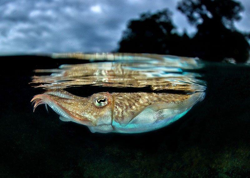 Common cuttlefish (Sepia officinalis) under the surface of the Mediterranean Sea