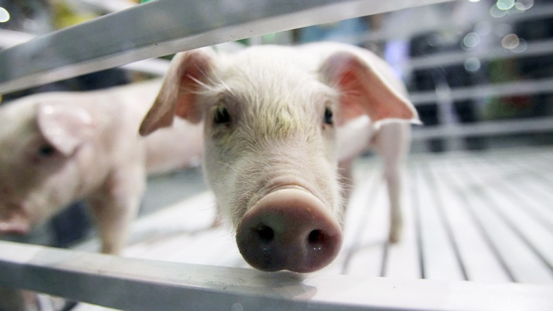 Genetically modified pet pigs