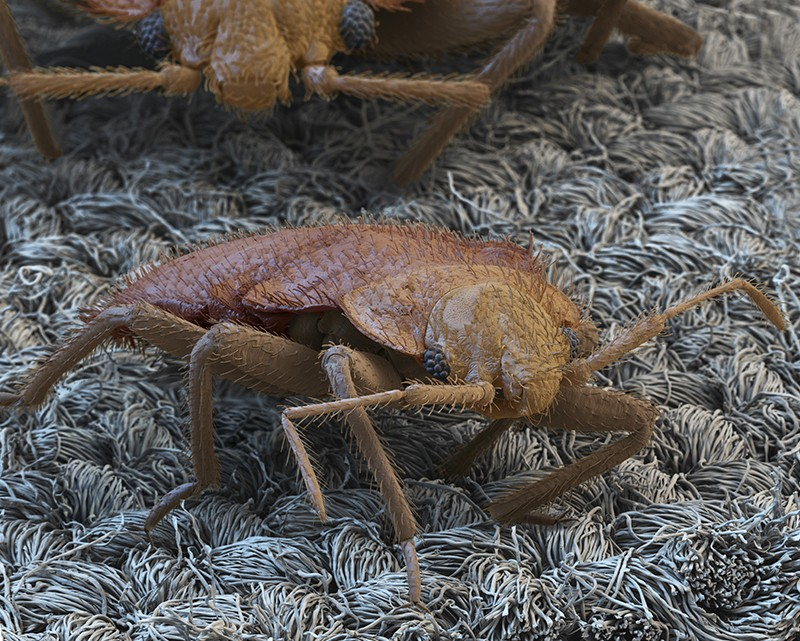 Coloured SEM of bed bug on fabric