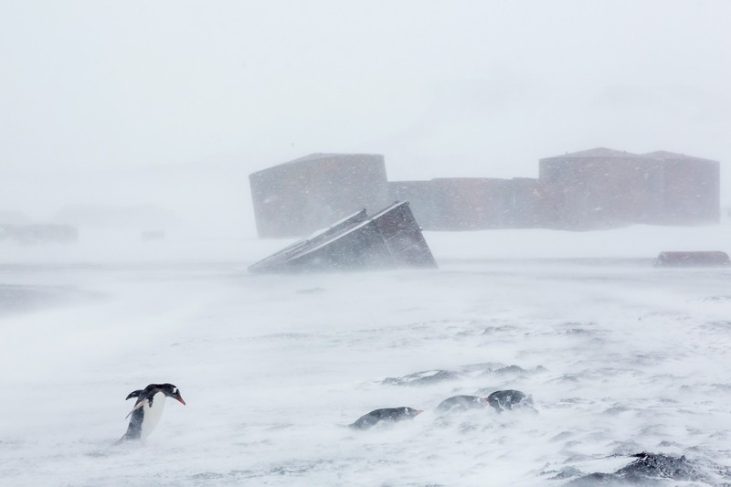 Gentoo penguins in a snow storm