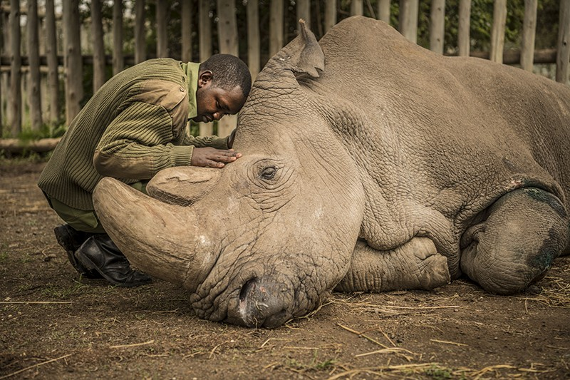 A wildlife ranger comforts Sudan, the last male northern white rhino, as it dies