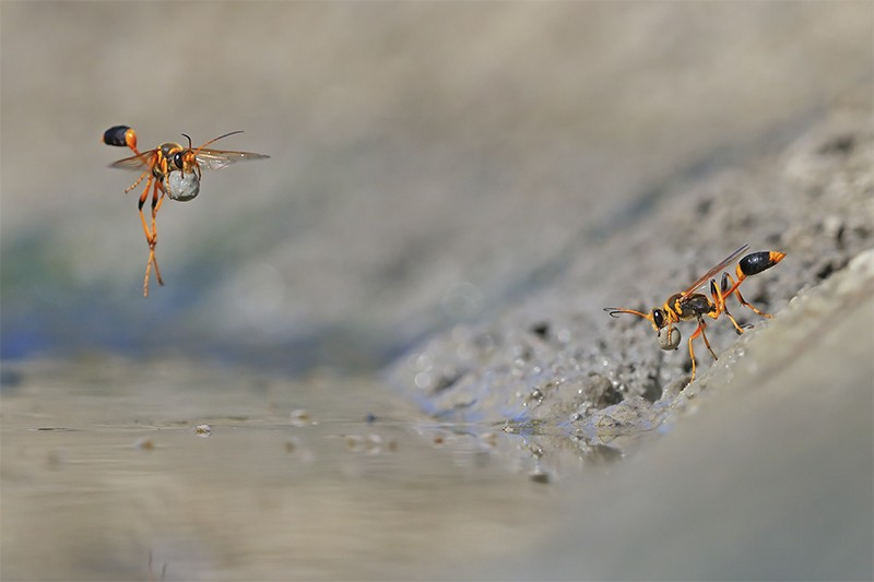 2 Mud-rolling mud-dauber wasps, right - rolling mud, left - flying with mud ball. Credit Georgina Steytler/WPY 2018