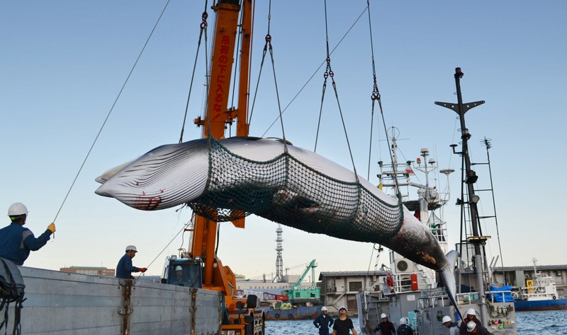 A minke whale is landed at a port in Japan