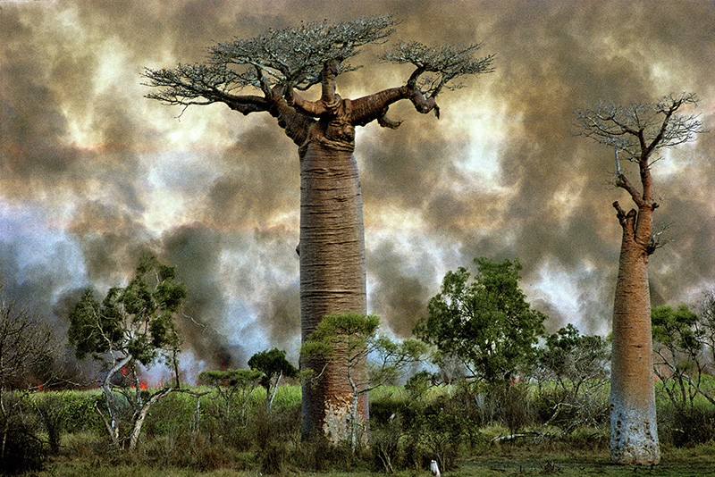 Fire burns near baobab trees in Madagascar