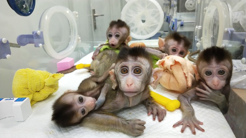 Five cloned monkeys