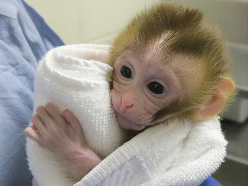Grady the monkey, wrapped up in a white towel, is held by medical staff