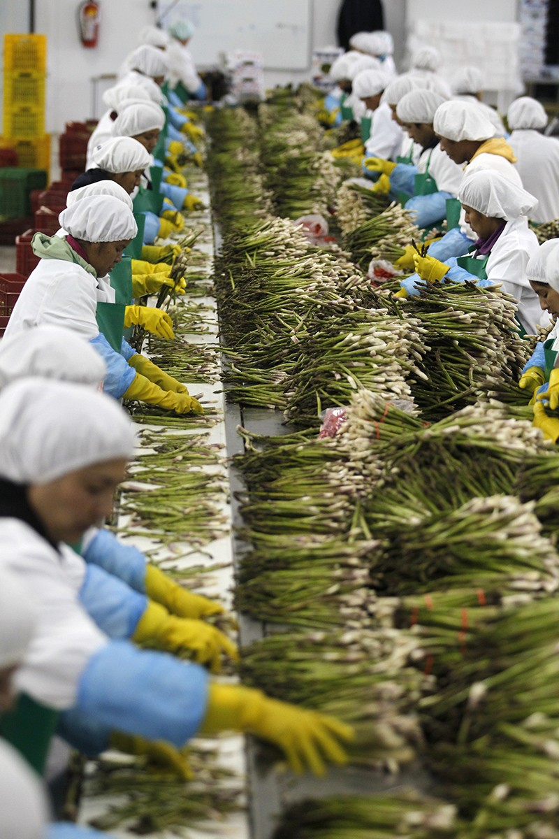 Workers on a production line, dressed in safety gear, sort asparagus at a processing plant.