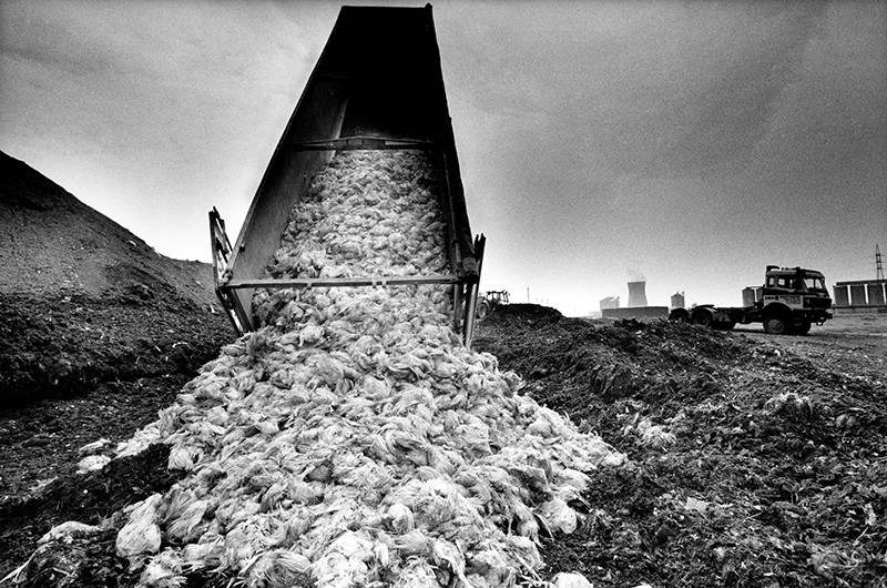 Black and white photograph of a pile of destroyed chickens carcasses being dumped off a truck.