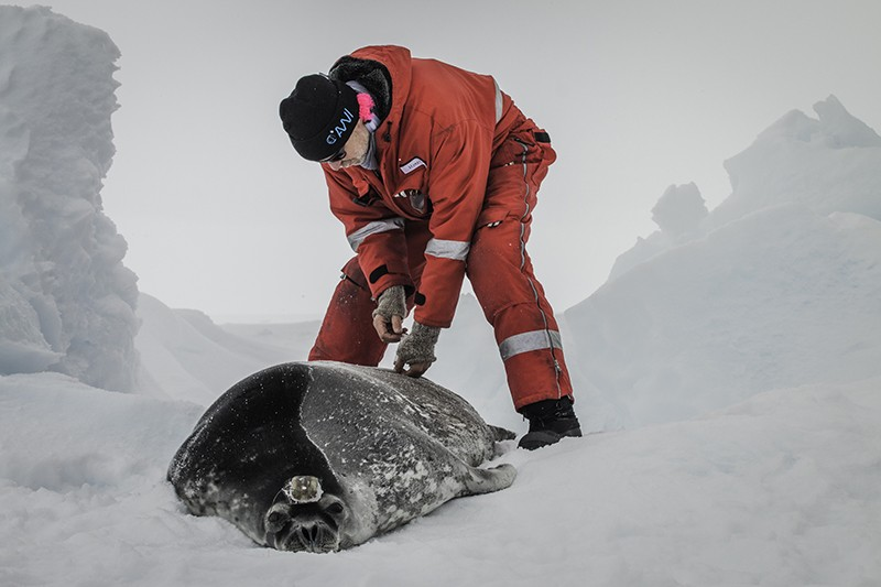 An immobilised female Weddell seal being tended to by a researcher after a deployment of a satellite tracker