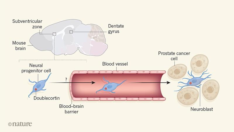 prostata central