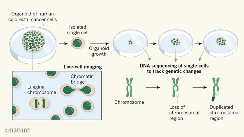 Modificările funcționale ale celulelor canceroase în raport cu celulele normale