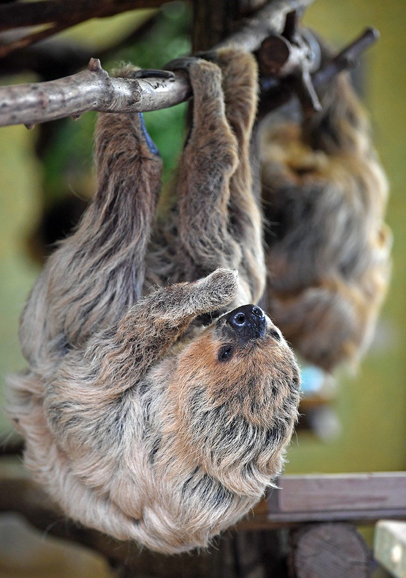 The world's oldest sloth hanging off a branch