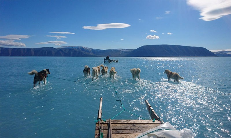 dogs haul a sled through meltwater on coastal sea ice in northwest Greenland, June 13, 2019.