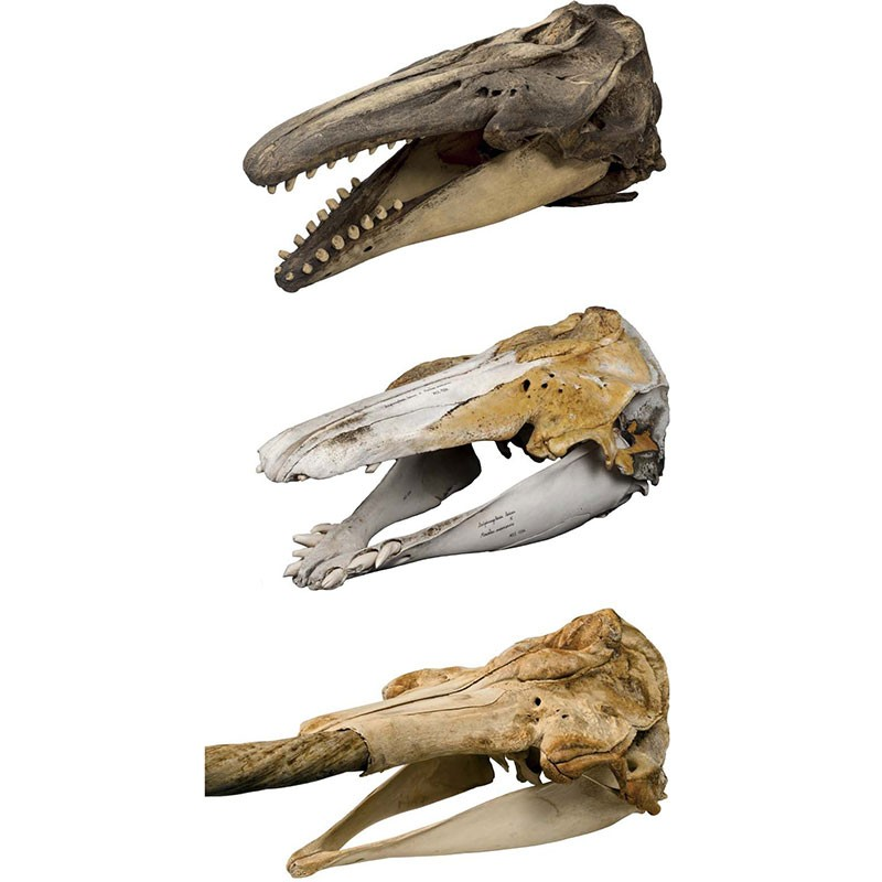 Skull morphology of (top) beluga, (middle) MCE1356, and (bottom) narwhal.