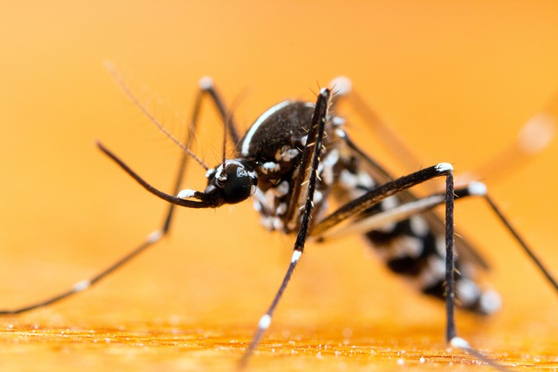 An Asian Tiger Mosquito