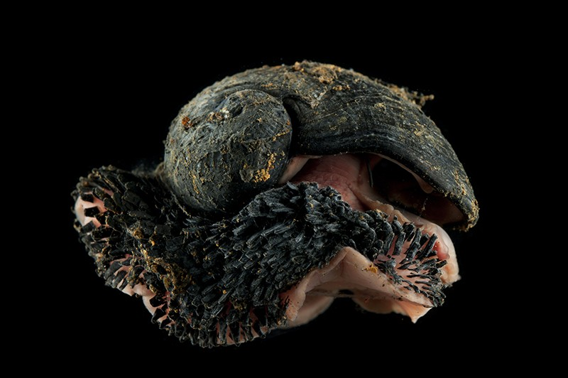 Deepsea Scaly foot gastropod (Crysomallon squamiferum ) from Dragon vent field, Indian Ocean.