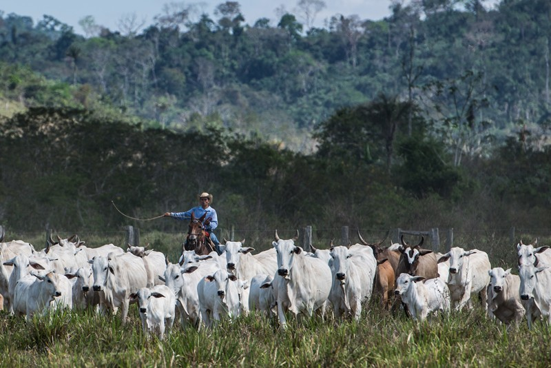A cowboy drives cattle at a farm in the Brazilian rainforest