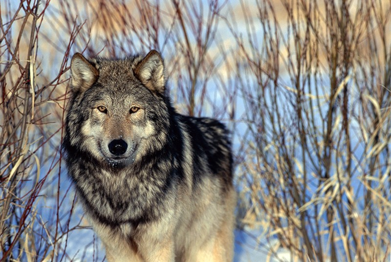 Gray wolf (Canis lupus) in the Superior National Forest, Minnesota, USA.