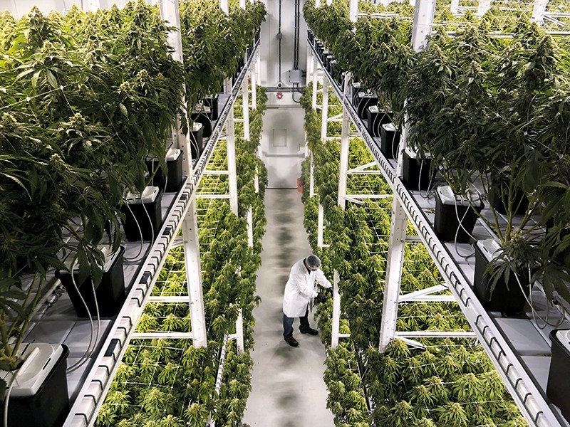 Rows of plants in a commercial medical-cannabis cultivation facility in Moncton, Canada