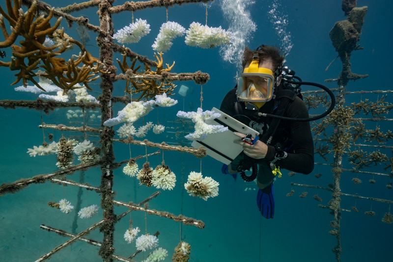 A diver takes notes at a coral nursery on the Society Islands in French Polynesia