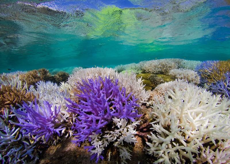 Fluorescing and bleached corals amongst healthy corals in New Caledonia.