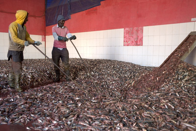 Workers load fish into the production line of a fishmeal production plant in Nouadhibou, the main port in Mauritania.