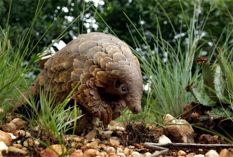 A pangolin looks for food on a private property in Johannesburg, South Africa