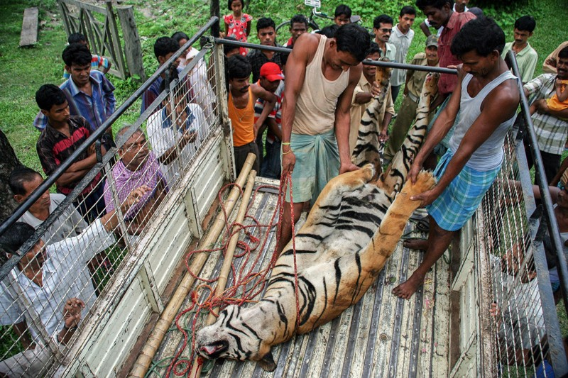 Labourers haul onto a pick-up truck the body of a full grown male Wild Royal Bengal Tiger which was hit by a train