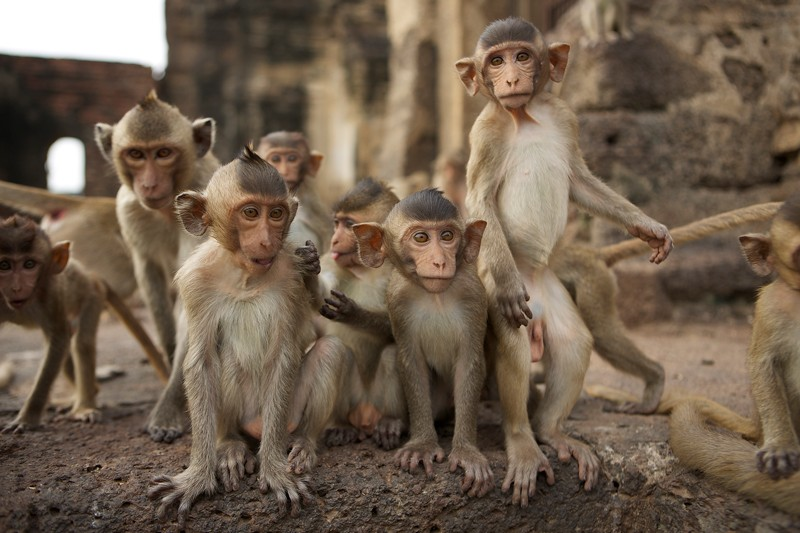 Long-tailed macaques at Monkey Temple, Thailand