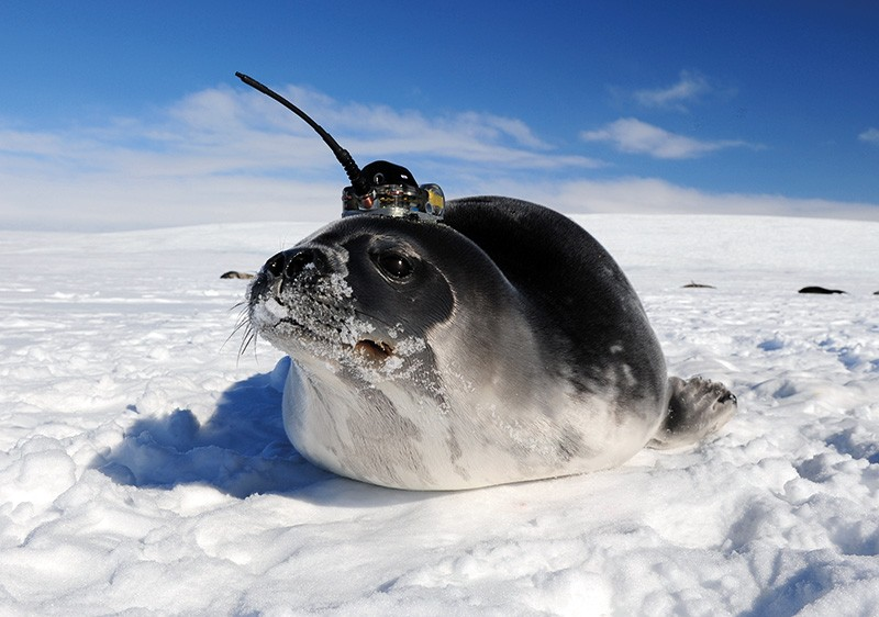 A Weddell seal wearing a transmitter