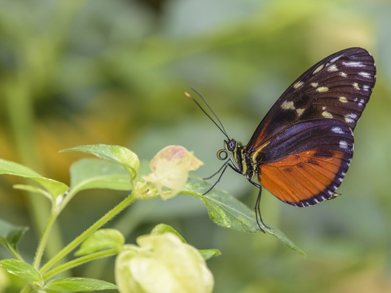 An orange and black butterly perches on a leaf.