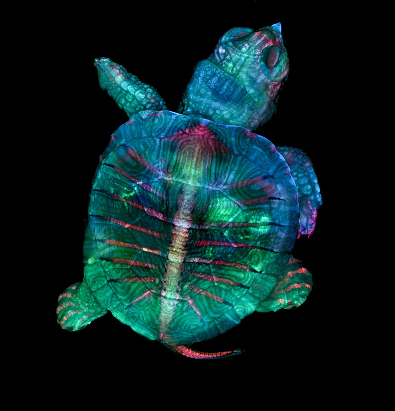 Fluorescent turtle embryo