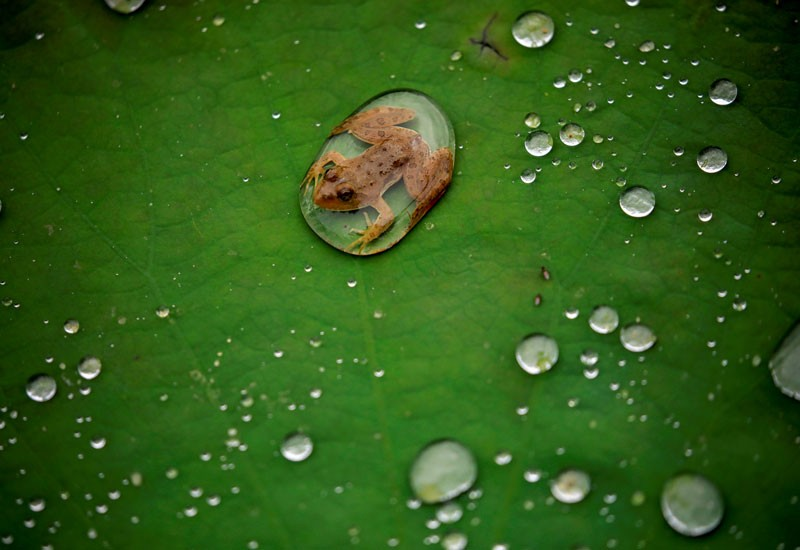 A frog is pictured on the leaf of a lotus after the rain at a pond in Lalitpur, Nepal September 26, 2019.