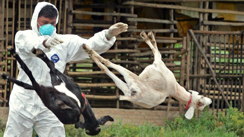 A Thai Livestock Officer Throws Bodies of Goats Infected in the First Major Outbreak of Brucellosis.